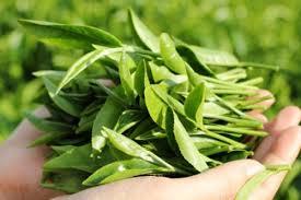 Cách trị viêm phụ khoa tại nhà bằng lá trà xanh
